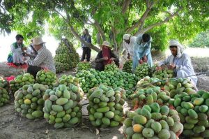 بدء حصاد المانجو في بلوشستان